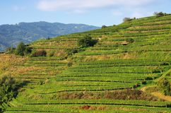 Wachau vineyard Stock Image