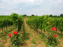 Wachau - vineyards Royalty Free Stock Photography