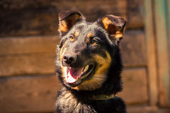 wachhund Lizenzfreie Stockfotografie