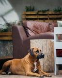 Wachhund, der geduldig wartet Stockfotografie