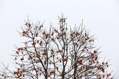 Wachlarzowata korona bez liści persimmon i, pełno obrazy royalty free