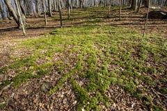 Wachluje clubmoss populaci przy skrzynki górą w Machester, Connecticut Obraz Royalty Free