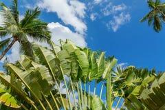 Wachluje drzewka palmowego i koksu drzewka palmowego liście nad jaskrawym niebieskim niebem Obrazy Stock