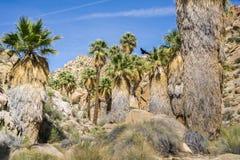 Wachluje drzewka palmowego Washingtonia filifera w Przegranej palmy oazie, popularny wycieczkuje punkt, Joshua drzewa park narodo fotografia stock