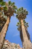 Wachluje drzewka palmowego Washingtonia filifera w Przegranej palmy oazie, popularny wycieczkuje punkt, Joshua drzewa park narodo zdjęcie royalty free