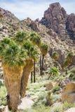 Wachluje drzewka palmowego Washingtonia filifera w Przegranej palmy oazie, popularny wycieczkuje punkt, Joshua drzewa park narodo obrazy royalty free