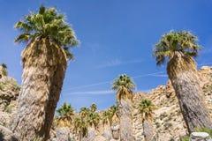 Wachluje drzewka palmowego Washingtonia filifera w Przegranej palmy oazie, popularny wycieczkuje punkt, Joshua drzewa park narodo obraz stock
