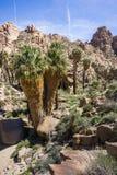Wachluje drzewka palmowego Washingtonia filifera w Przegranej palmy oazie, popularny wycieczkuje punkt, Joshua drzewa park narodo obrazy stock