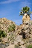 Wachluje drzewka palmowego Washingtonia filifera w Przegranej palmy oazie, popularny wycieczkuje punkt, Joshua drzewa park narodo obraz royalty free