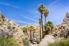 Wachluje drzewka palmowego Washingtonia filifera w Przegranej palmy oazie, popularny wycieczkuje punkt, Joshua drzewa park narodo zdjęcia royalty free