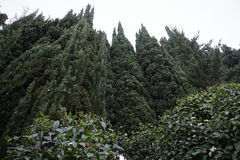 Wacholderbüsche im Süden von Frankreich Stockbilder