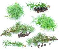 Wacholderbeere mit grünem Zweig Lizenzfreies Stockfoto