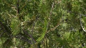 Wacholderbeeren auf einer Niederlassung, der Hintergrund von Bäumen stock footage