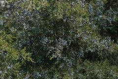 Wacholderbeeren werden dicht mit gr?nen Niederlassungen in den Strahlen der warmen Fr?hlingssonne bedeckt lizenzfreie stockbilder