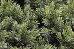 wacholderbusch stockbilder