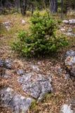 Wacholderbusch auf dem Felsen Stockfotos