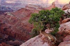 Wacholderbusch-Baum und Schlucht Stockfoto