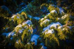 Wacholderbusch im Winter Lizenzfreie Stockfotos
