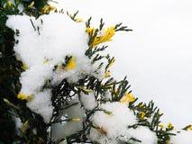Wacholderbusch im Winterschnee Stockbild