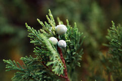 Wacholderbusch (JunÃperus-occidentà ¡ lis) Stockbild