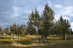 Wacholderbuschbäume stockbild