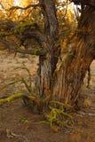 Wacholderbuschbaum am späten Nachmittag stockfoto
