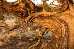 Wacholderbuschbaum am späten Nachmittag lizenzfreie stockbilder