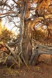 Wacholderbuschbaum am späten Nachmittag stockfotos