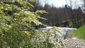 Wacholderbuschbaumast und flüssiges Flusswasser Fokusänderung 4K stock video footage