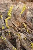 Wacholderbuschbaumbaumstumpf am späten Nachmittag lizenzfreies stockfoto