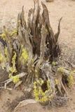 Wacholderbuschbaumstumpf am späten Nachmittag lizenzfreies stockfoto