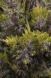 Wacholderbuschniederlassungen mit Beeren Stockbilder