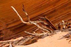 Wacholderbuschwurzeln gegen Linien des Sandsteins Stockfotos