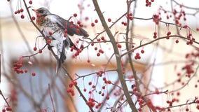 Wacholderdrossel im hungrigen Winter isst rote Beeren in einer Großstadt stock video