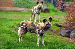 Wachsame Afrikanische Wildhunde Lizenzfreies Stockfoto