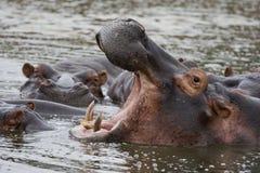 Wachsame Flusspferde Lizenzfreies Stockbild