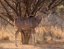 Wachsame junge Kudu Kuh unter Bushveld Baum Stockbild