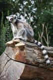 Wachsame Katta, die auf dem Baumstamm sitzt Stockfoto