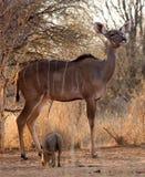 Wachsame Kudu Kuh Lizenzfreie Stockfotografie