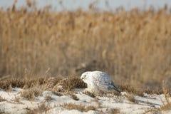 Wachsame männliche Schneeeule auf dem Strand, der herum schaut Stockfotos