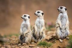 Wachsame meerkats, die Schutz stehen Stockfotografie