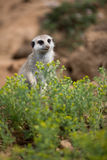 Wachsame meerkats, die Schutz stehen Stockfoto