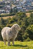Wachsame Merinoschafe, die auf Steigung über Blenheim, Marlborough, Neuseeland weiden lassen Lizenzfreies Stockbild