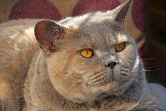 Wachsame schauende Zucht- Katze Lizenzfreies Stockbild