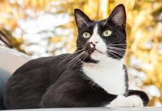 Wachsame Schwarzweiss--Cat Sitting auf dem Auto, das nach außen schaut Stockbilder