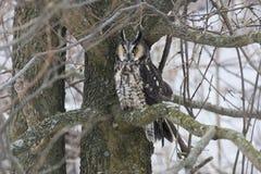 Wachsame Waldohreule, Asio Otus, hockte im Baum Stockbilder