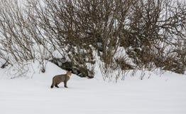 Wachsame Wildkatze Stockbild