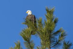 Wachsamer Adler auf Wipfel Lizenzfreie Stockfotos