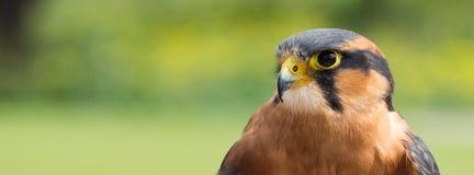 Wachsamer Aplomado-Falke u. x28; Falco-femoralis& x29; Stockfotos