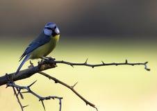 Wachsamer Blau-Tit Stockbild